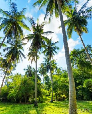 coconut-trees